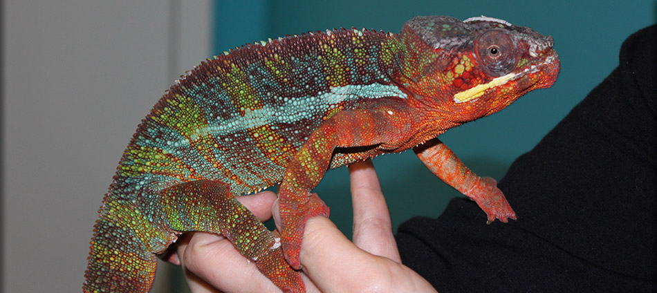Chameleons | Maryland Avian & Exotics